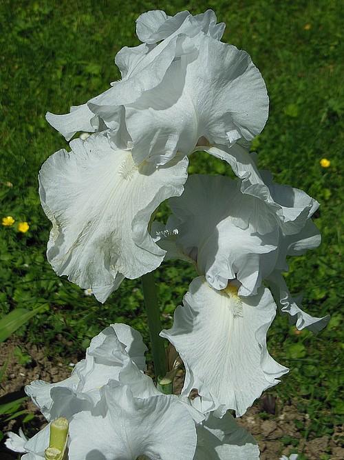 Iris blanc Blanc_12