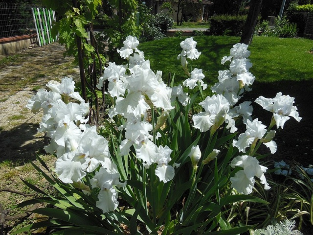 Iris blanc Blanc_13