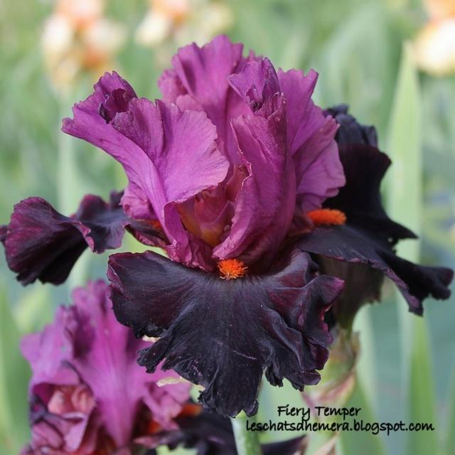 identification iris britanique bicolor Fiery_10