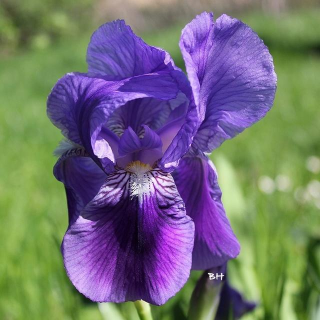 iris stériles a feuilles persistantes Fritjo10