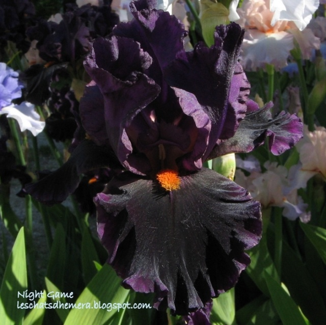 identification iris britanique bicolor Night_10