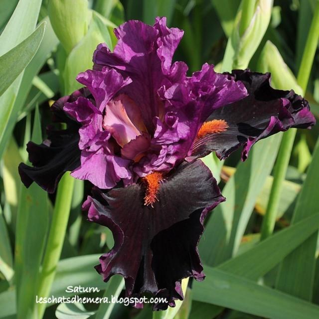 identification iris britanique bicolor Saturn11