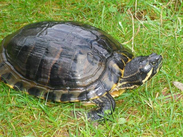 infos tortue avant hiver P1100510