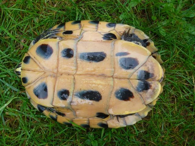 infos tortue avant hiver P1100512