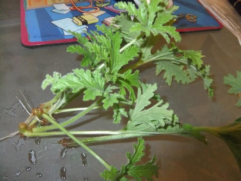 Pelargonium - Pelargonien - alle nichtsukkulenten Arten und Sorten - Aussaat - Stecklinge - Seite 3 Dscf5920