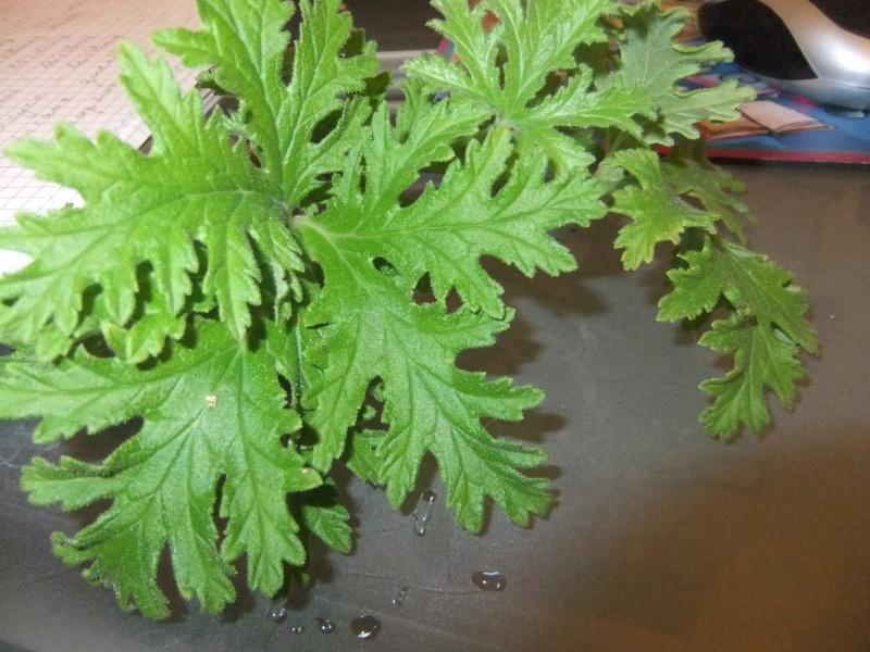 Pelargonium - Pelargonien - alle nichtsukkulenten Arten und Sorten - Aussaat - Stecklinge - Seite 3 Dscf5921