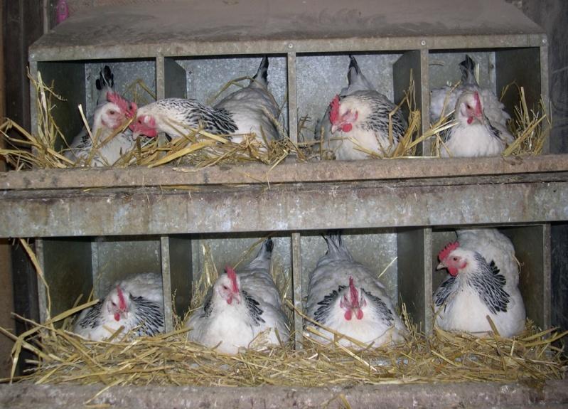 poule sussex herminé - Page 2 Captur15