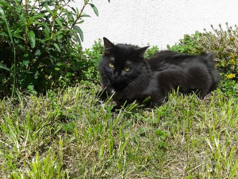 Perdue chatte noire poils longs à Colomiers 2013-010
