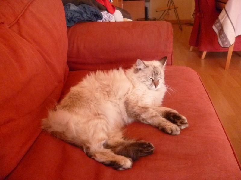 Perdue chatte blanche/grise à Colomiers P1000410