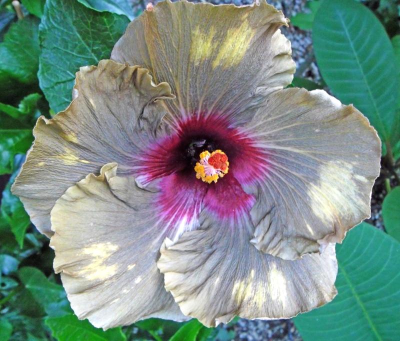 Hibiscus - alle Arten, Zuchtformen ... Erfahrungsberichte, Aussaat und selbstverständlich Bilder :) - Seite 3 Dark-c10