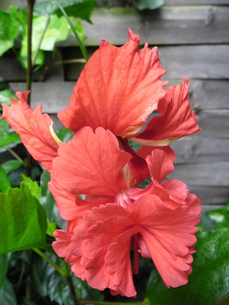Hibiscus - alle Arten, Zuchtformen ... Erfahrungsberichte, Aussaat und selbstverständlich Bilder :) - Seite 3 Hibisk10
