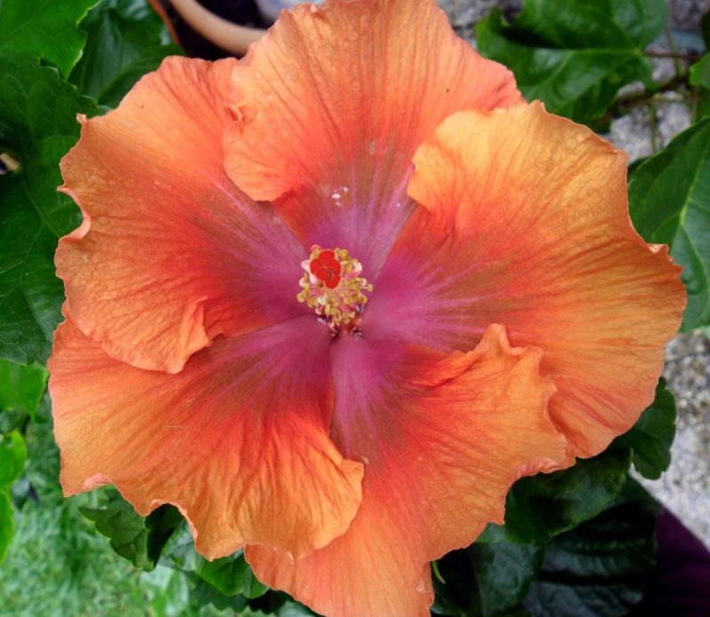 Hibiscus - alle Arten, Zuchtformen ... Erfahrungsberichte, Aussaat und selbstverständlich Bilder :) - Seite 3 Moorea11