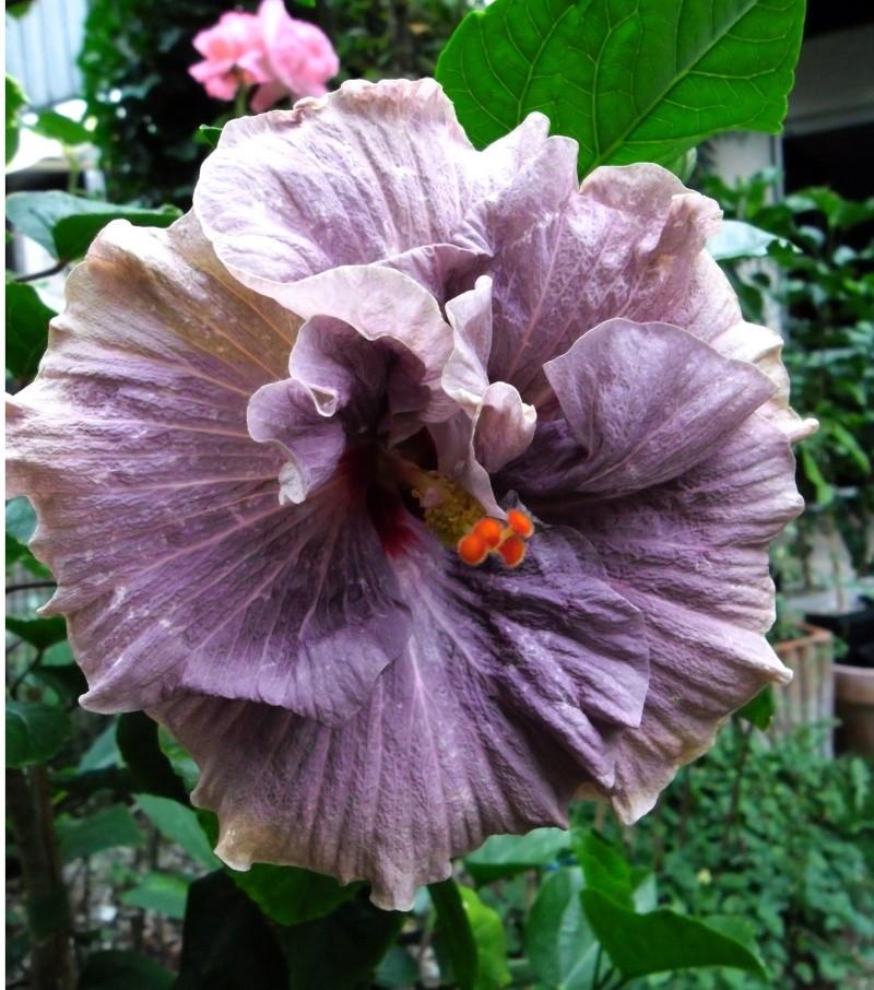 Hibiscus - alle Arten, Zuchtformen ... Erfahrungsberichte, Aussaat und selbstverständlich Bilder :) - Seite 3 Tahiti10