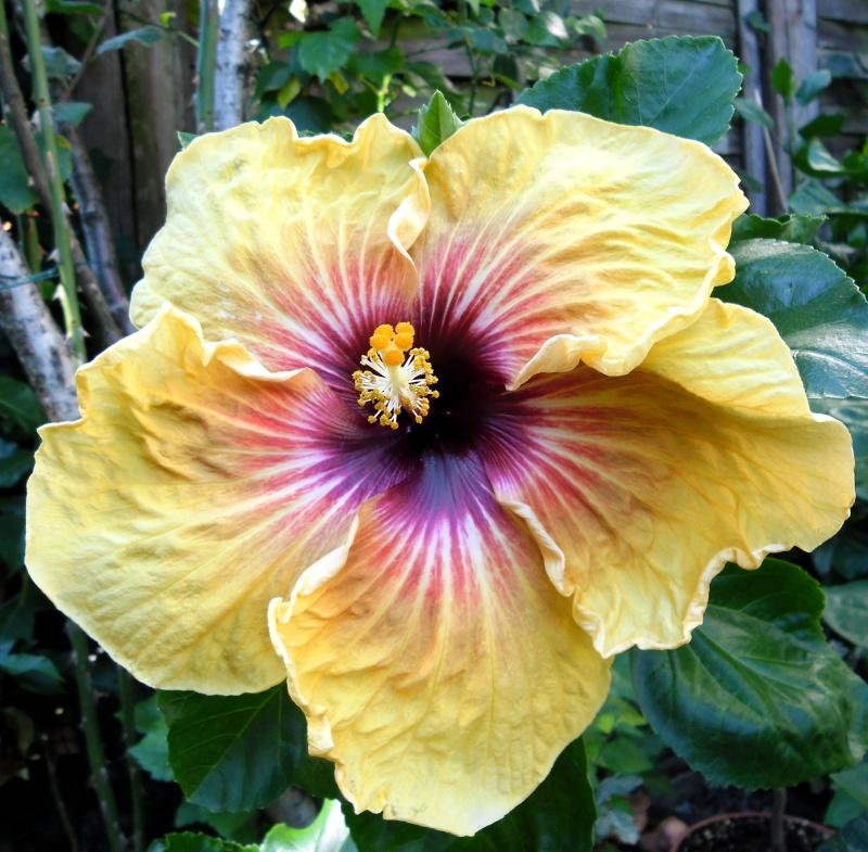 Hibiscus - alle Arten, Zuchtformen ... Erfahrungsberichte, Aussaat und selbstverständlich Bilder :) - Seite 3 Tahiti11