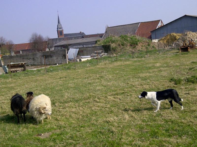 border collie lof (oise) Img-2012