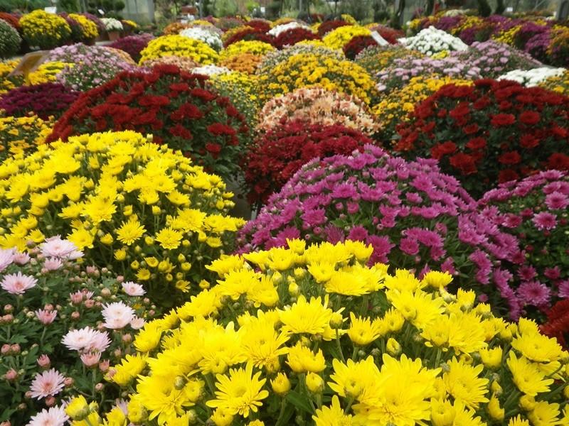chrysanthèmes à gogo 35982310