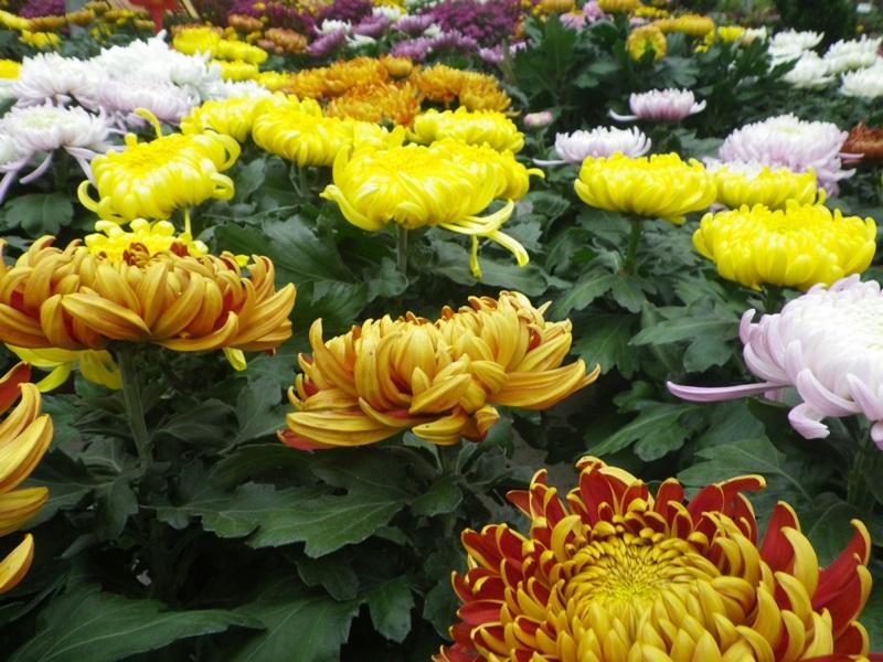chrysanthèmes à gogo 66930810