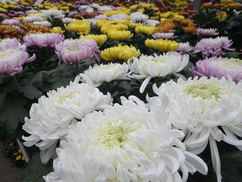 chrysanthèmes à gogo 67288610