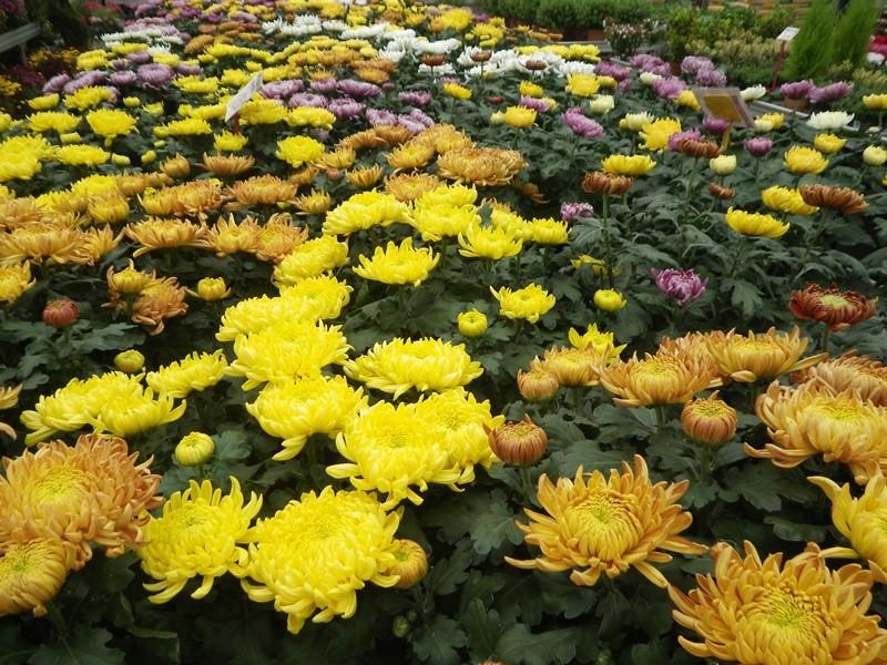 chrysanthèmes à gogo 69998910