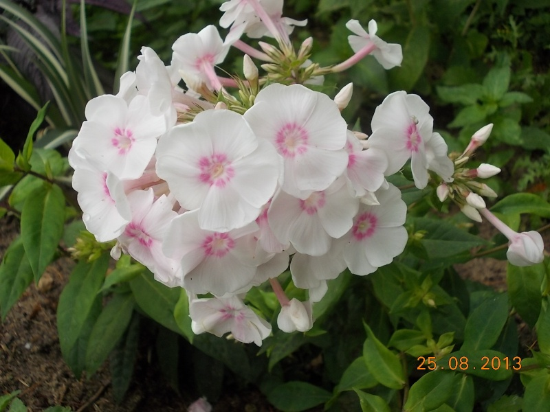 Phlox vivace, Phlox paniculata - Page 8 Dscn4521