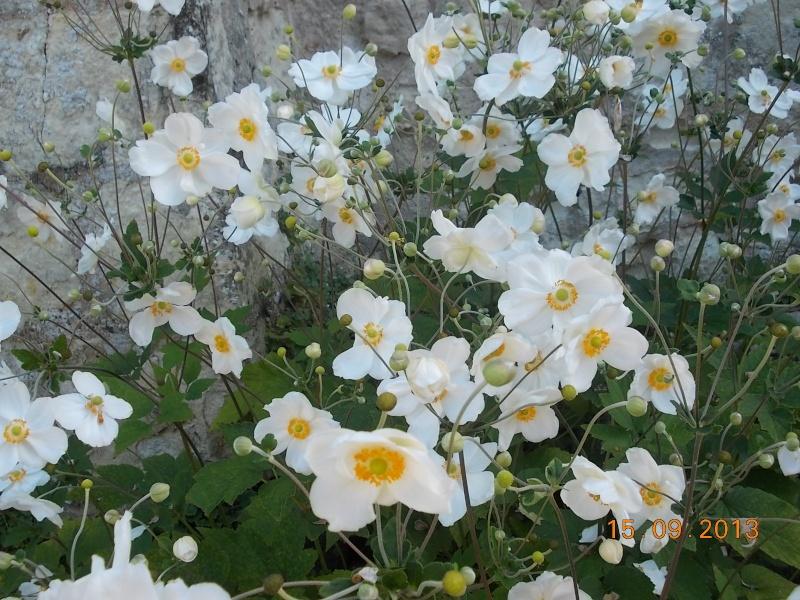 anemones du japon  - Page 2 Dscn5218