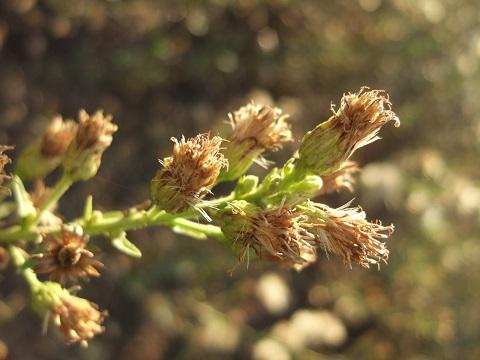 Dittrichia viscosa - inule visqueuse Dscf1712