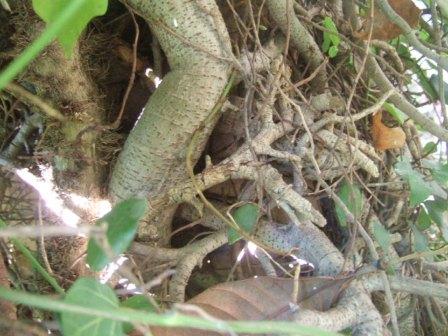 Ficus pumila - Page 4 Dscf4111