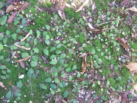 Ficus pumila - Page 4 Dscf4112