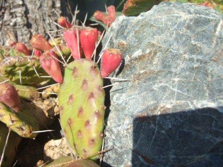 Opuntia humifusa (= Opuntia compressa) Dscf4118