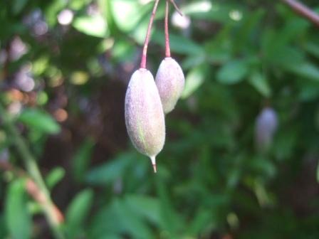 Billardiera heterophylla (= Sollya heterophylla) [devinette] Dscf4119