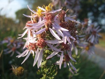 Galatella sedifolia (= Aster sedifolius) - aster à feuilles d'orpin Dscf4220
