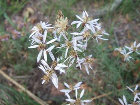 Galatella sedifolia (= Aster sedifolius) - aster à feuilles d'orpin Dscf4221