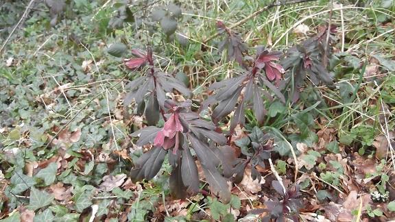 Euphorbia amygdaloides - euphorbe à feuilles d'amandier, euphorbe des bois Dscf4510