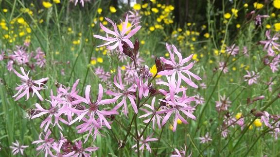 Lychnis flos-cuculi - silène fleur de coucou Dscf4810