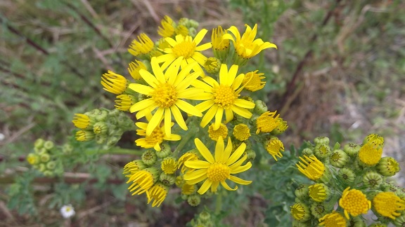 Jacobea vulgaris (= Senecio jacobaea) - séneçon jacobée Dscf4912