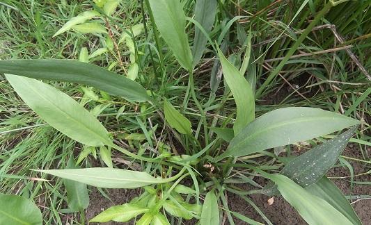 alisma - Alisma plantago-aquatica - plantain d'eau Dscf4915
