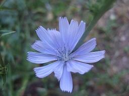 Cichorium intybus - chicorée sauvage, chicorée amère Dscf5711