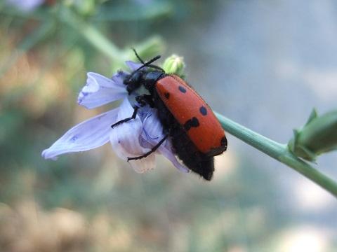 Cichorium intybus - chicorée sauvage, chicorée amère Dscf5712