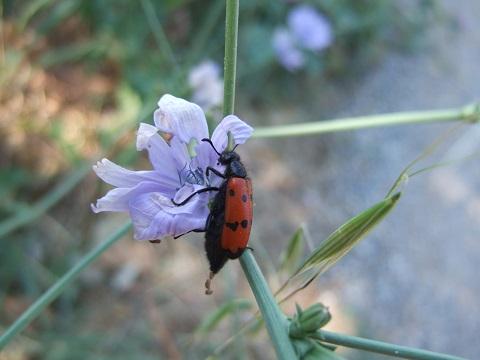 Cichorium intybus - chicorée sauvage, chicorée amère Dscf5713