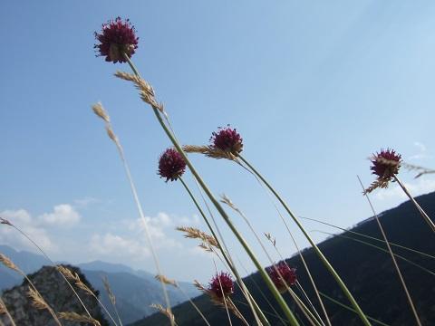 Allium sphaerocephalon - ail à tête ronde Dscf5910