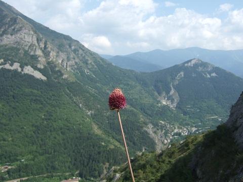 Allium sphaerocephalon - ail à tête ronde Dscf5911