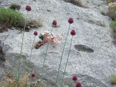Allium sphaerocephalon - ail à tête ronde Dscf6210