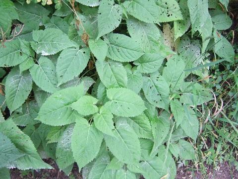 Salvia glutinosa - sauge glutineuse Dscf6410