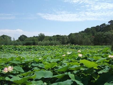 Nelumbo nucifera et horticoles - lotus sacré - Page 2 Dscf6415