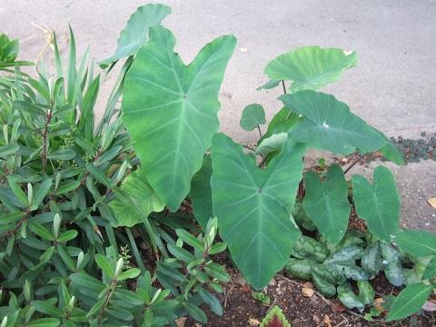 colocasia - Colocasia esculenta - taro Dscf6517
