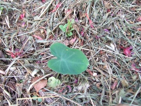 colocasia - Colocasia esculenta - taro Dscf6518