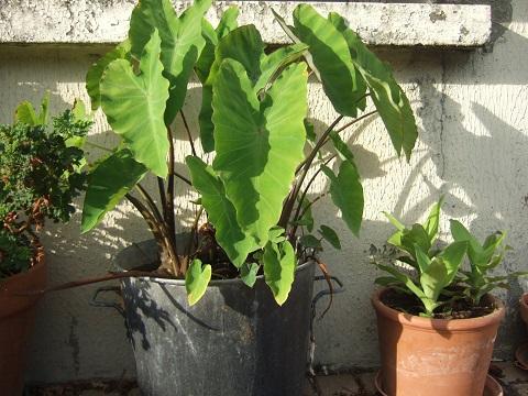 colocasia - Colocasia esculenta - taro Dscf6519