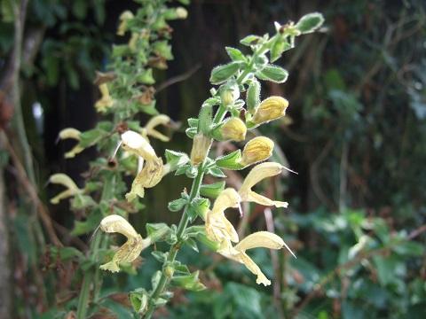 Salvia glutinosa - sauge glutineuse Dscf6524