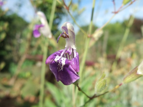 Salvia candelabrum Dscf6535