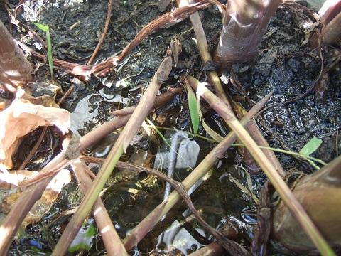 colocasia - Colocasia esculenta - taro Dscf6632